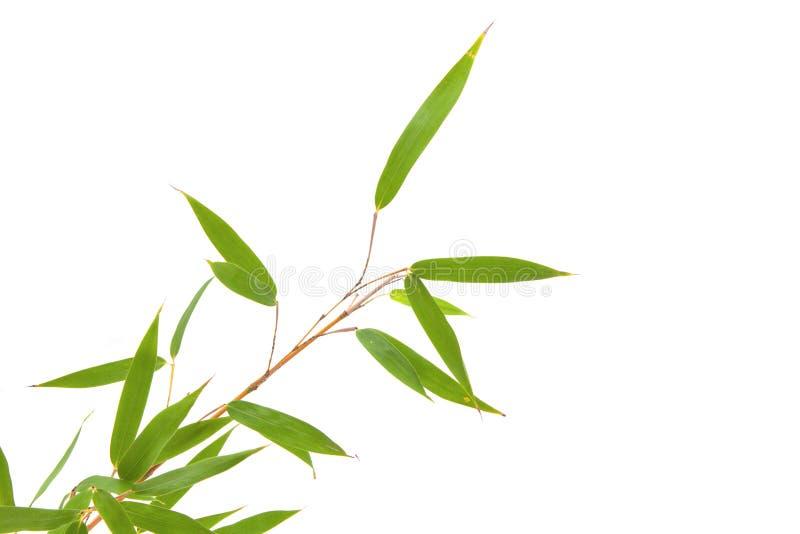 Ветвь и бамбуковые листья на белой предпосылке стоковые изображения