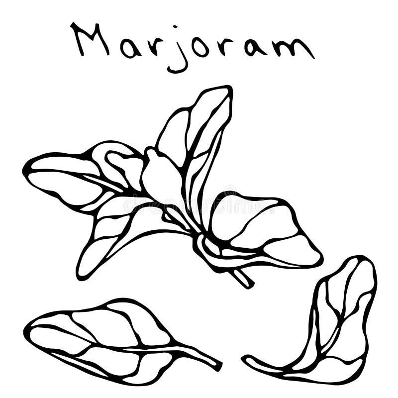 Ветвь и лист травы майорана Реалистической нарисованный рукой эскиз стиля Doodle Иллюстрация вектора изолированная на белизне бесплатная иллюстрация