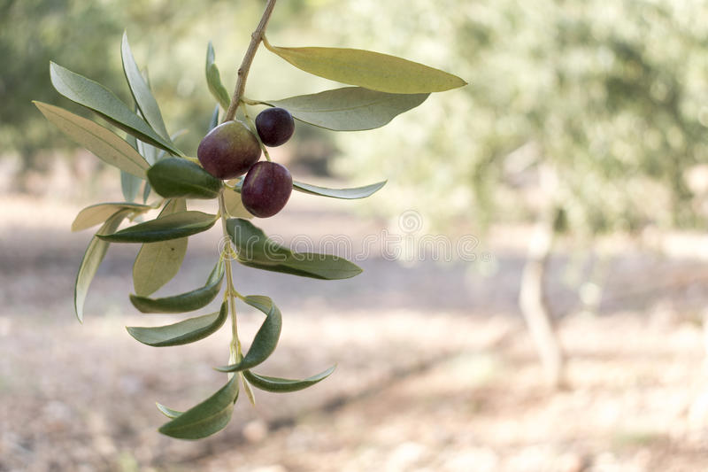 Ветвь и плодоовощи оливкового дерева стоковое фото