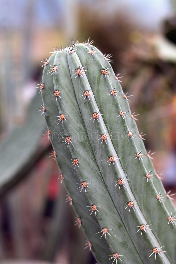 Ветвь кактуса стоковое фото rf