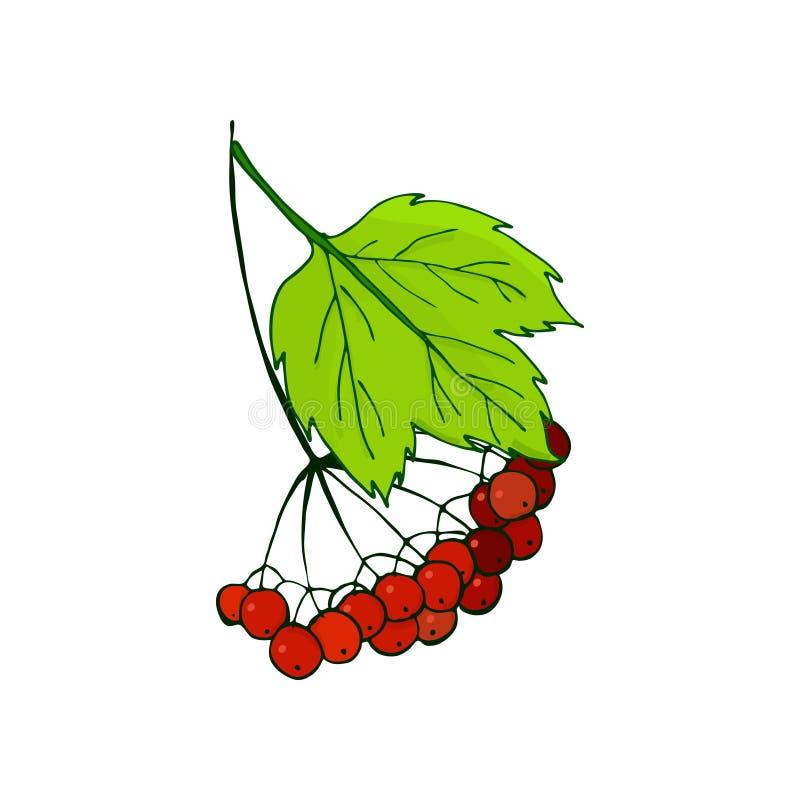 Ветвь калины  иллюстрация вектора