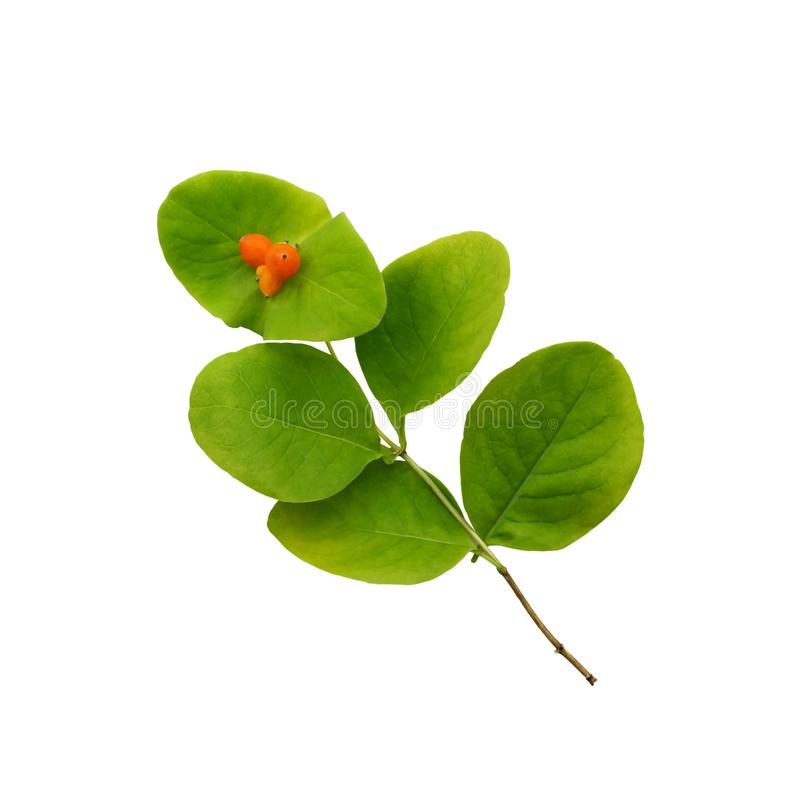 Ветвь каприфолия с ягодами на листьях изолированных на белизне стоковое изображение rf