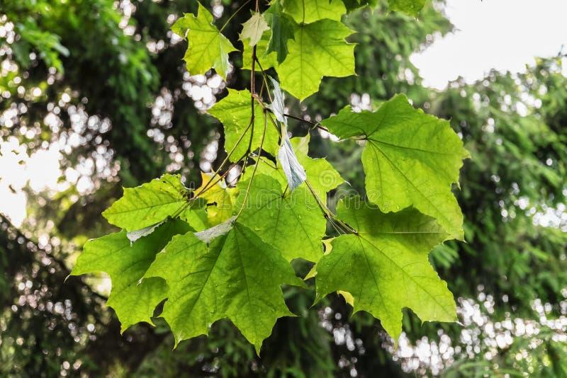Ветвь клена в ненастном лесе лета стоковые изображения