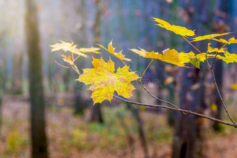 Ветвь клена с желтыми листьями на предпосылке деревьев в forest_ стоковая фотография
