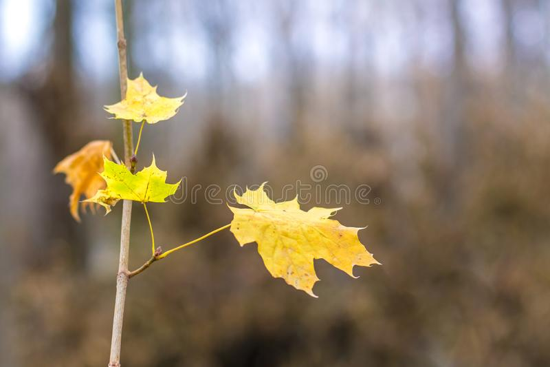Ветвь клена с желтыми листьями на предпосылке деревьев в forest_ стоковое фото rf