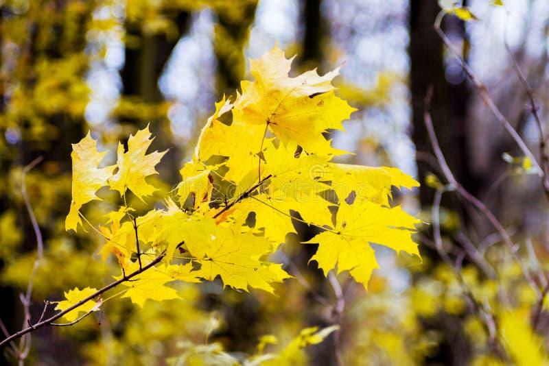 Ветвь клена с желтыми листьями на предпосылке деревьев в forest_ стоковая фотография rf