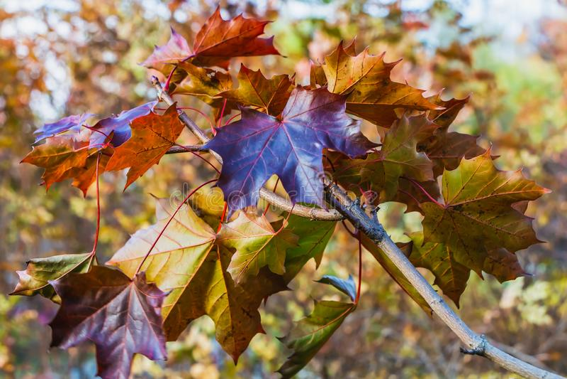 Ветвь клена с красными оранжевыми листьями золота зелеными и желтыми высекаенными на запачканной предпосылке стоковые изображения rf