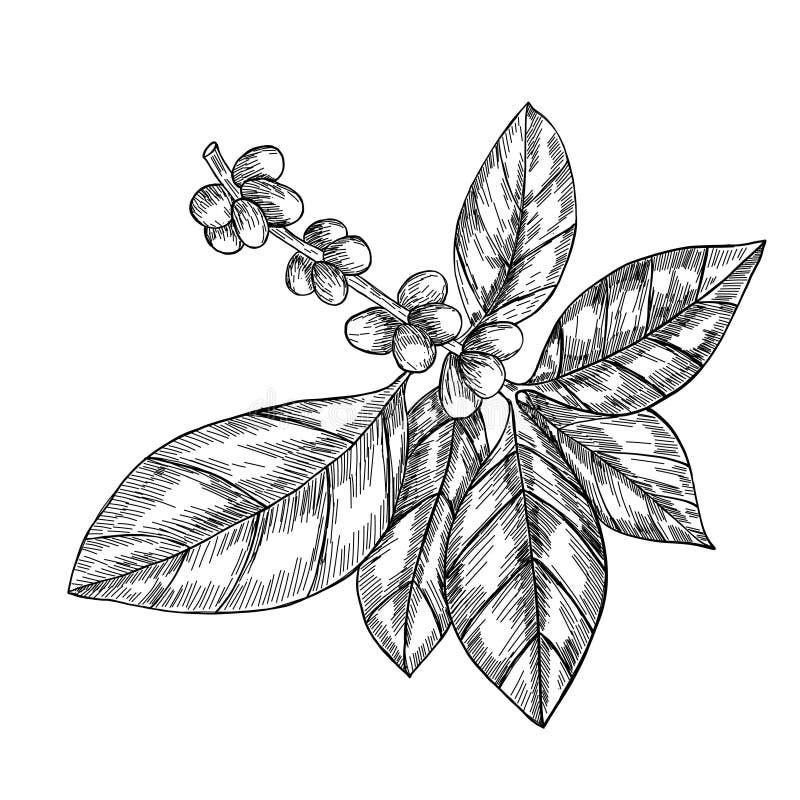 Ветвь кофе с лист, ягодой, кофейным зерном, плодоовощ, семенем Естественный органический кофеин Нарисованная рукой иллюстрация ве иллюстрация вектора