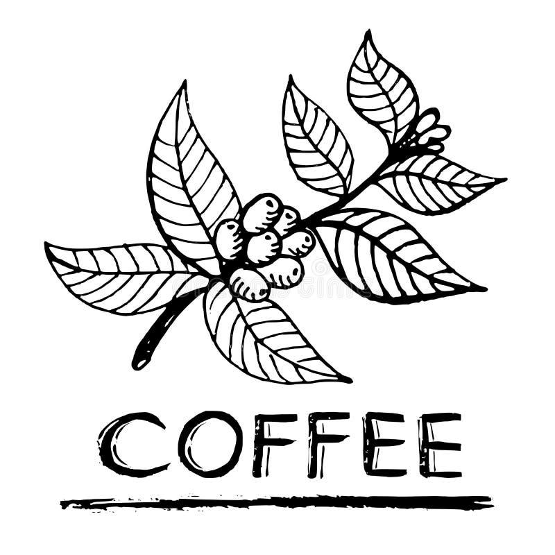 Ветвь кофе иллюстрация вектора