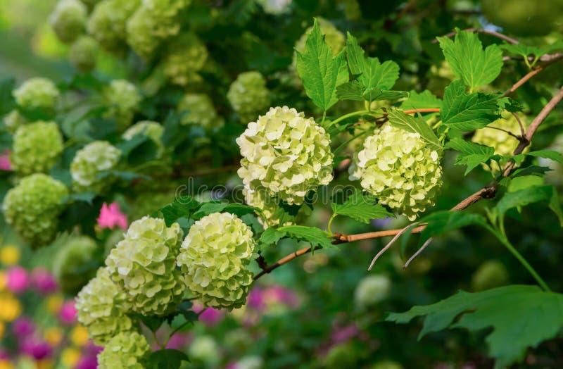 Ветвь крышки куста гортензии малых белых цветков среди стоковое фото