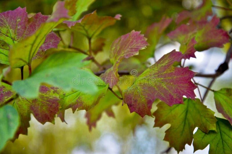 Ветвь куста калины с зарумяненными листьями стоковое фото