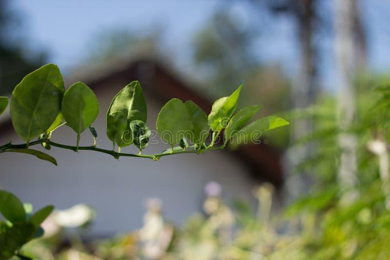 Ветвь лимона с листьями на расплывчатой предпосылке стоковые изображения rf