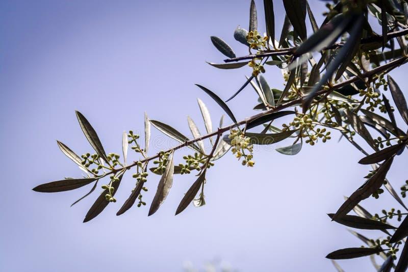 Ветвь малое прованское растущего стоковая фотография