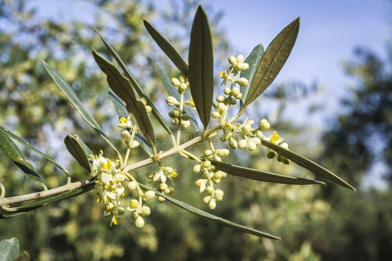Ветвь малое прованское растущего стоковое изображение