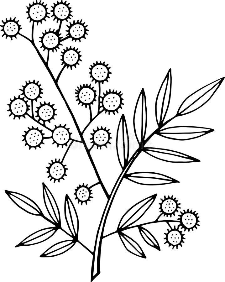 картинка раскраска веточка мимозы фото свадьбе включает