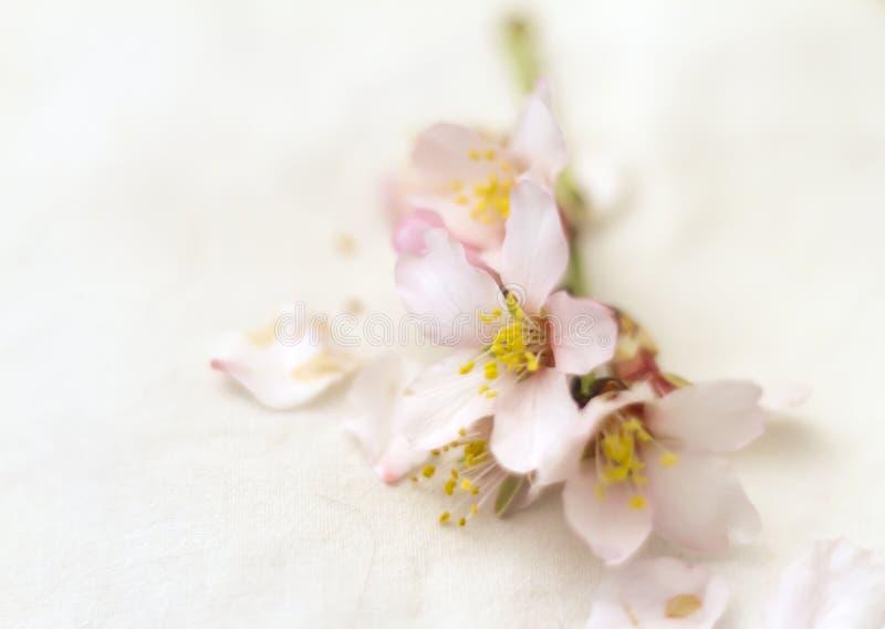Ветвь миндалины в цветени стоковые фотографии rf