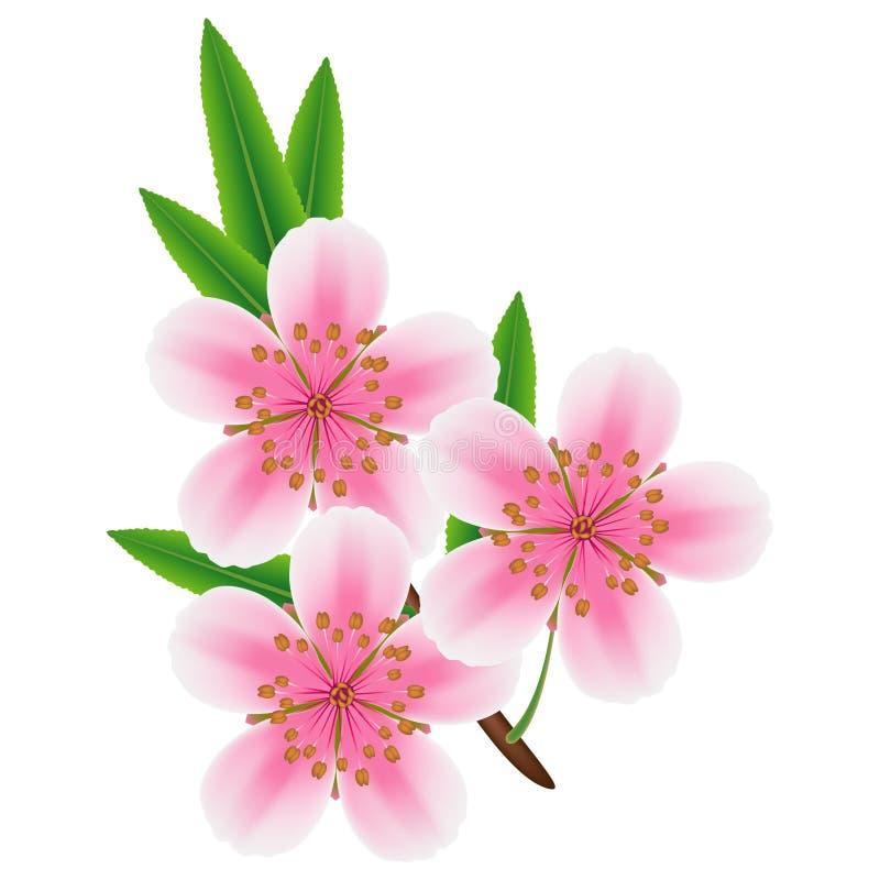 Ветвь миндалины с цветками и листьями на белой предпосылке бесплатная иллюстрация