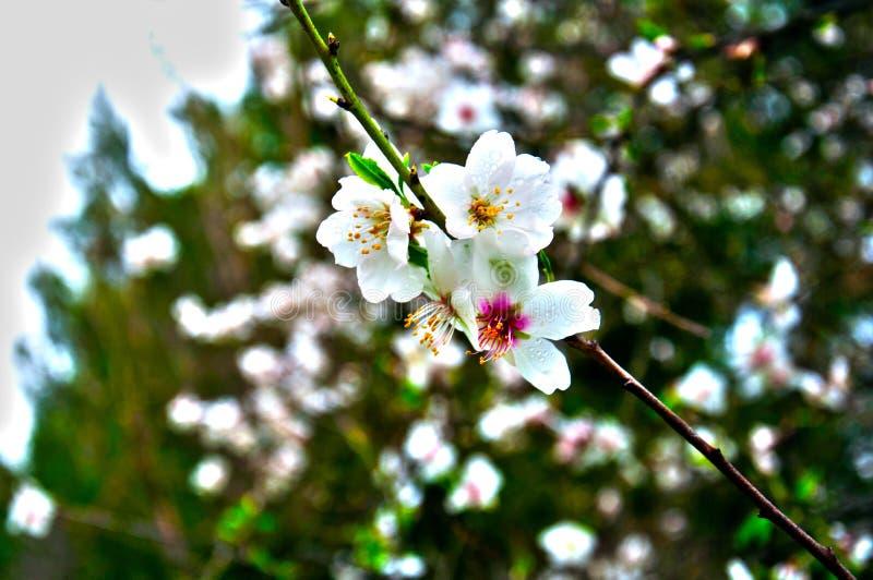 Ветвь миндального дерева с 4 большими белыми цветками, весны стоковое фото