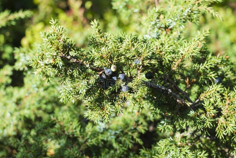 Ветвь можжевельника с сизоватыми конусами семени стоковые фотографии rf