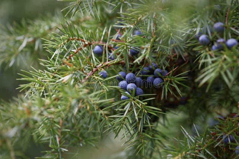 Ветвь можжевельника с ягодами стоковое изображение