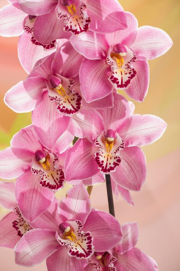 Ветвь орхидеи стоковые фотографии rf