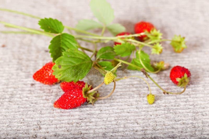 Ветвь одичалой клубники с красными и зелеными ягодами стоковое фото rf