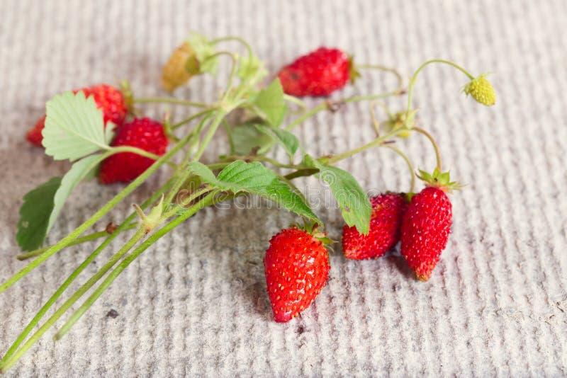 Ветвь одичалой клубники с красными и зелеными ягодами стоковые фотографии rf