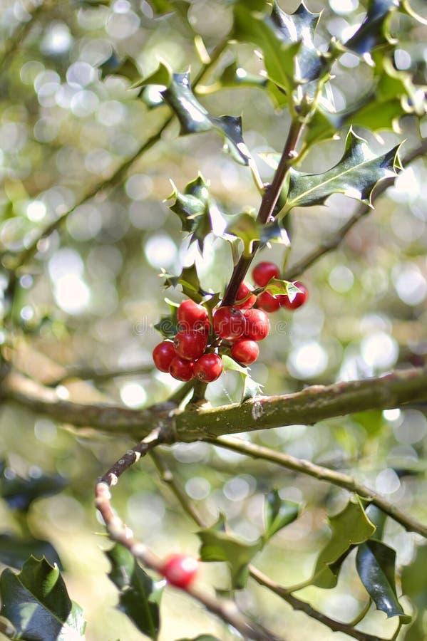 Ветвь падуба - aquifolium Ilex стоковое изображение rf