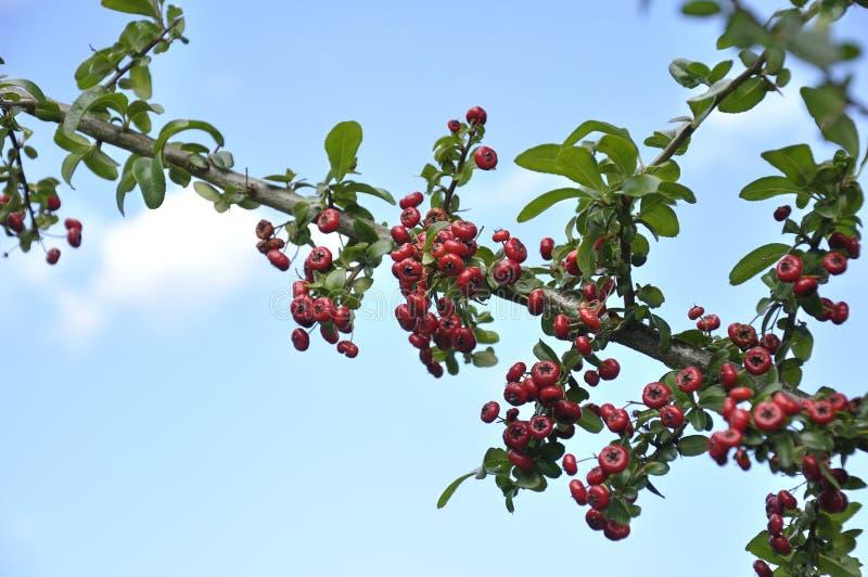 Ветвь падуба - aquifolium Ilex стоковая фотография