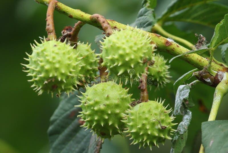 Ветвь плодов конского каштана на hippocastanum Aesculus дерева конского каштана стоковые фото