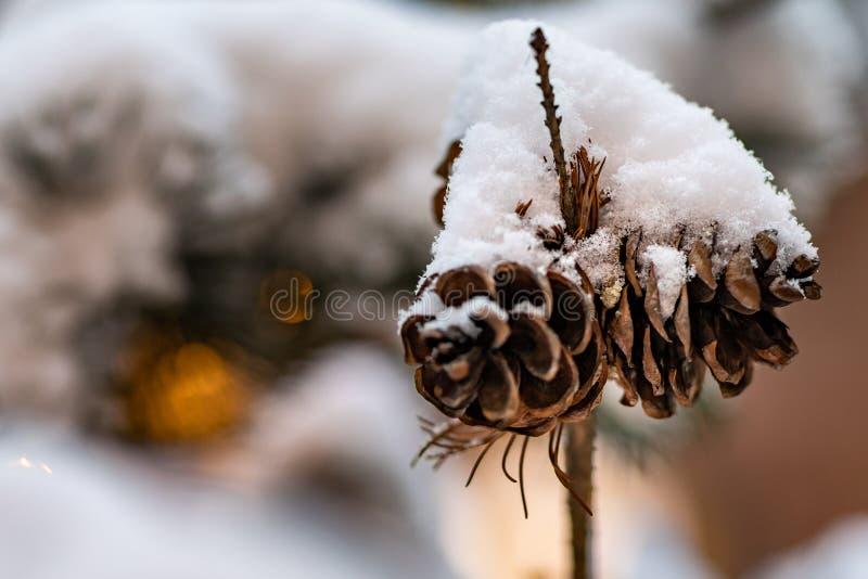 ветвь покрыла вал снежка ели Ветвь рождественской елки с конусами покрытыми со снегом стоковое изображение
