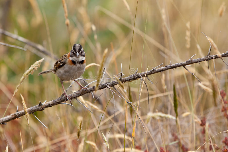 ветвь птицы collared rufous сидя воробей стоковое фото rf