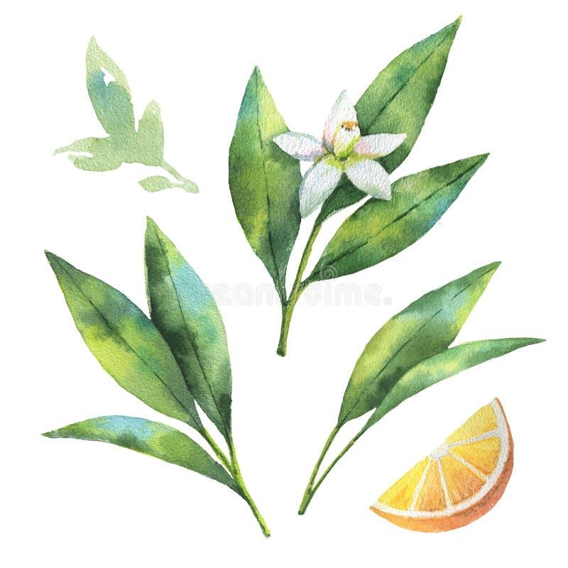 Ветвь плодоовощ акварели оранжевая изолированная на белой предпосылке иллюстрация штока