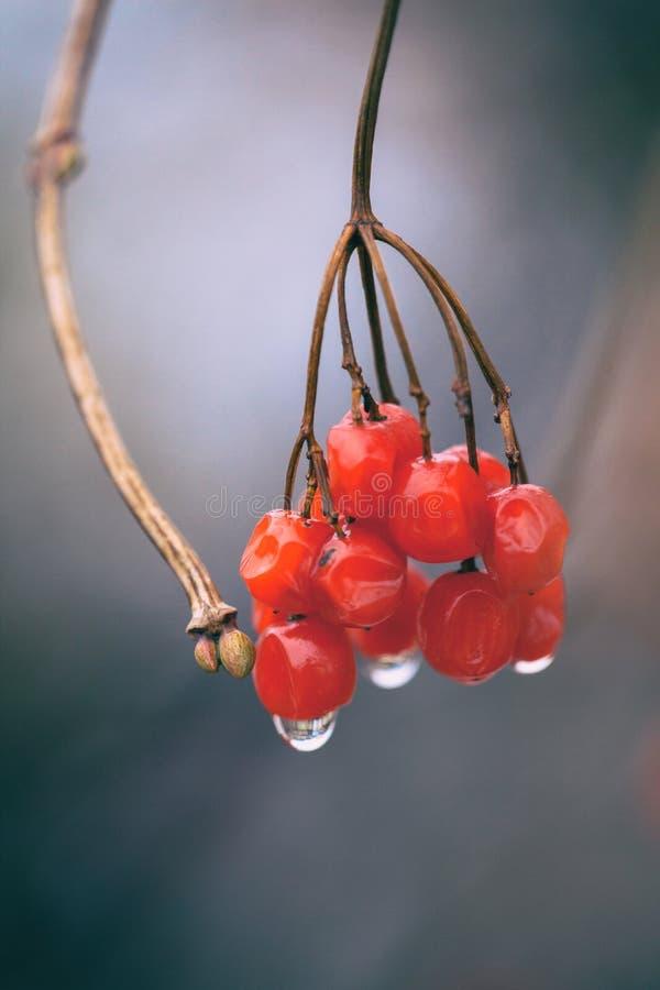 Ветвь розы guelder с красными ягодами на которых падение дождя видимо стоковые изображения rf