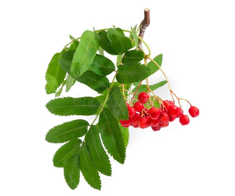 Ветвь рябины с ягодами и листьями на белой предпосылке стоковая фотография