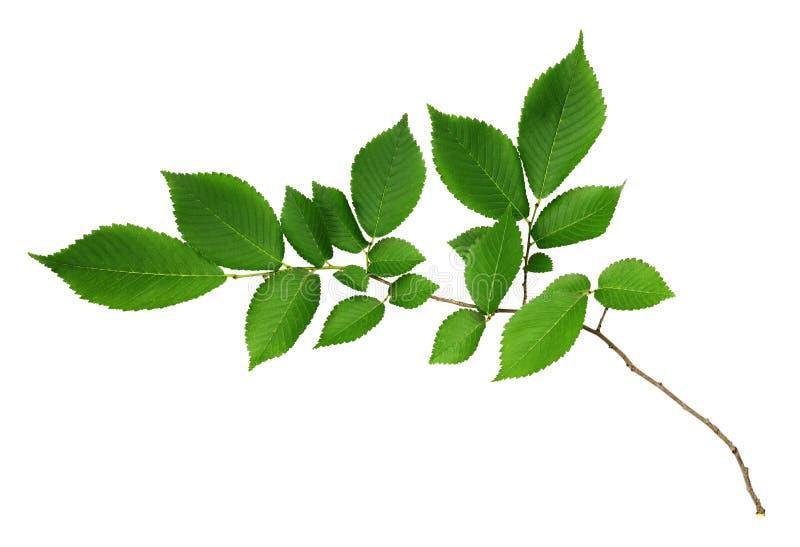 Ветвь свежих зеленых листьев вяз-дерева стоковое фото