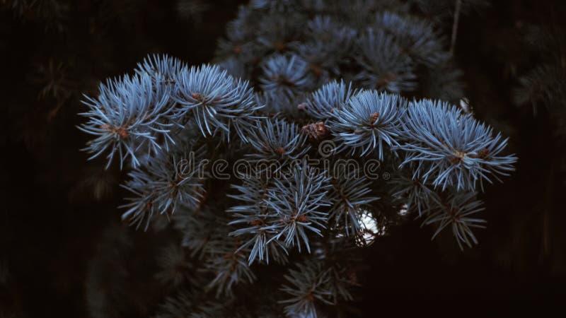 Ветвь серебряной сосны стоковое изображение rf