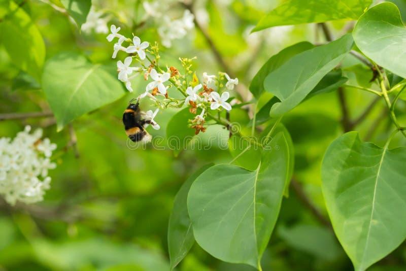 Ветвь сирени со шмелем на белых цветках в саде лета стоковое изображение