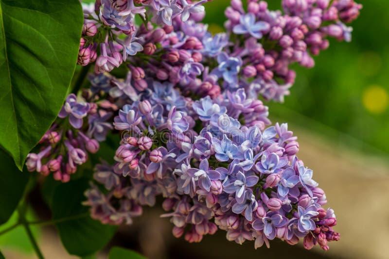 Ветвь сирени, цветков весны стоковые фотографии rf