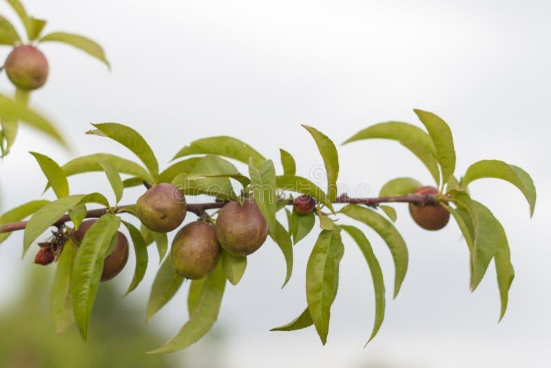 Ветвь сливы с плодоовощ стоковые изображения