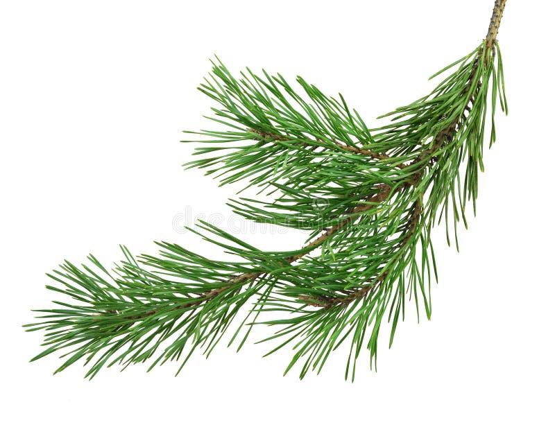 Ветвь сосны изолирована без тени Конец-вверх Рождество n стоковая фотография