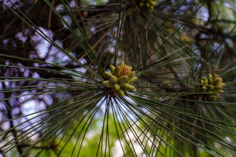 Ветвь сосны с длинными иглами и образование новых зеленых молодых конусов весной в конце леса вверх стоковая фотография