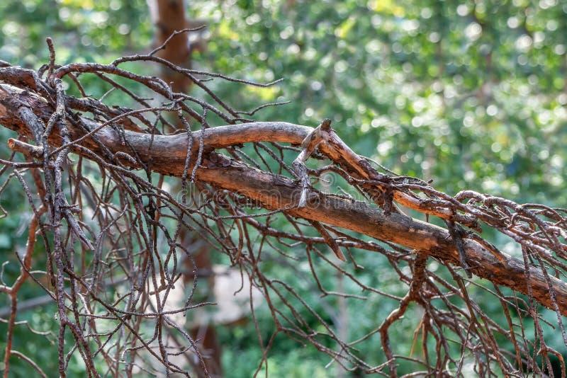 Сухие ветки сосен на фотографии