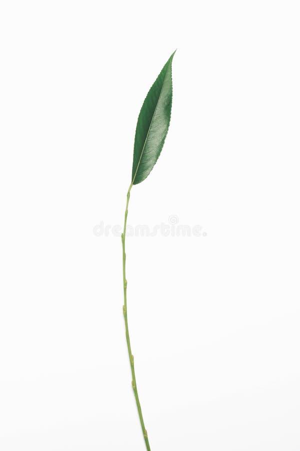 Ветвь стержня лист вербы зеленого растения изолированная на белой предпосылке стоковые фотографии rf