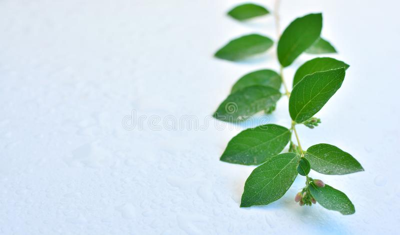 Ветвь с зелеными листьями лежа на влажной таблице Фото транспортирует свежесть и очищенность природы Зеленая, естественная и орга стоковое изображение rf