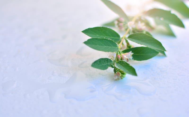 Ветвь с зелеными листьями лежа на влажной таблице Фото транспортирует свежесть и очищенность природы стоковая фотография rf