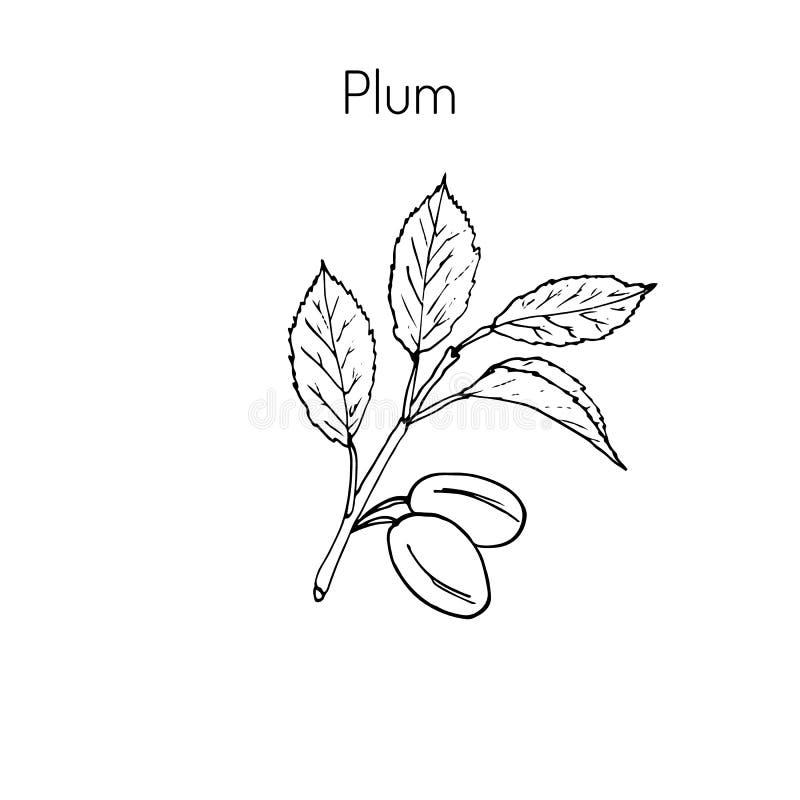 Ветвь сливы иллюстрация вектора