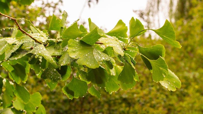 ветвь с красивыми зелеными свежими зелеными листьями джинкго бильобы с raindrops Медицинский завод китайской медицины, стоковые изображения rf