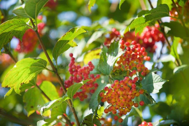 Ветвь с неполовозрелым плодоовощ на калине Буше в саде стоковые фото