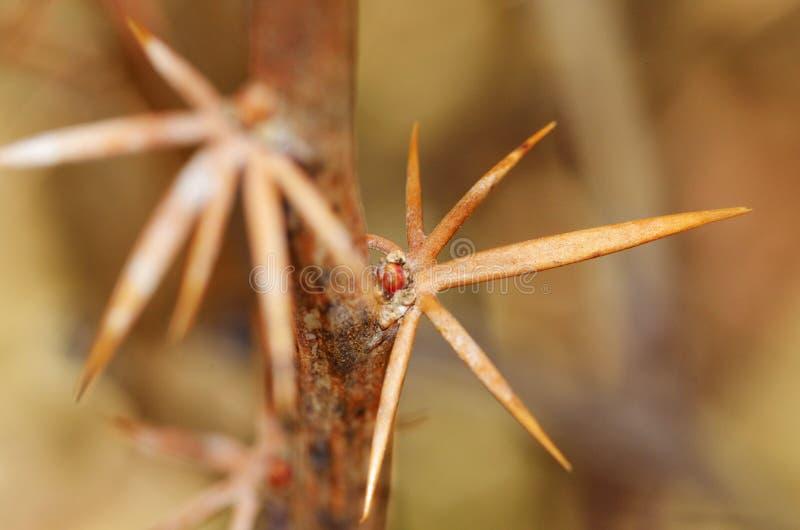 Ветвь с тернием барбариса стоковая фотография